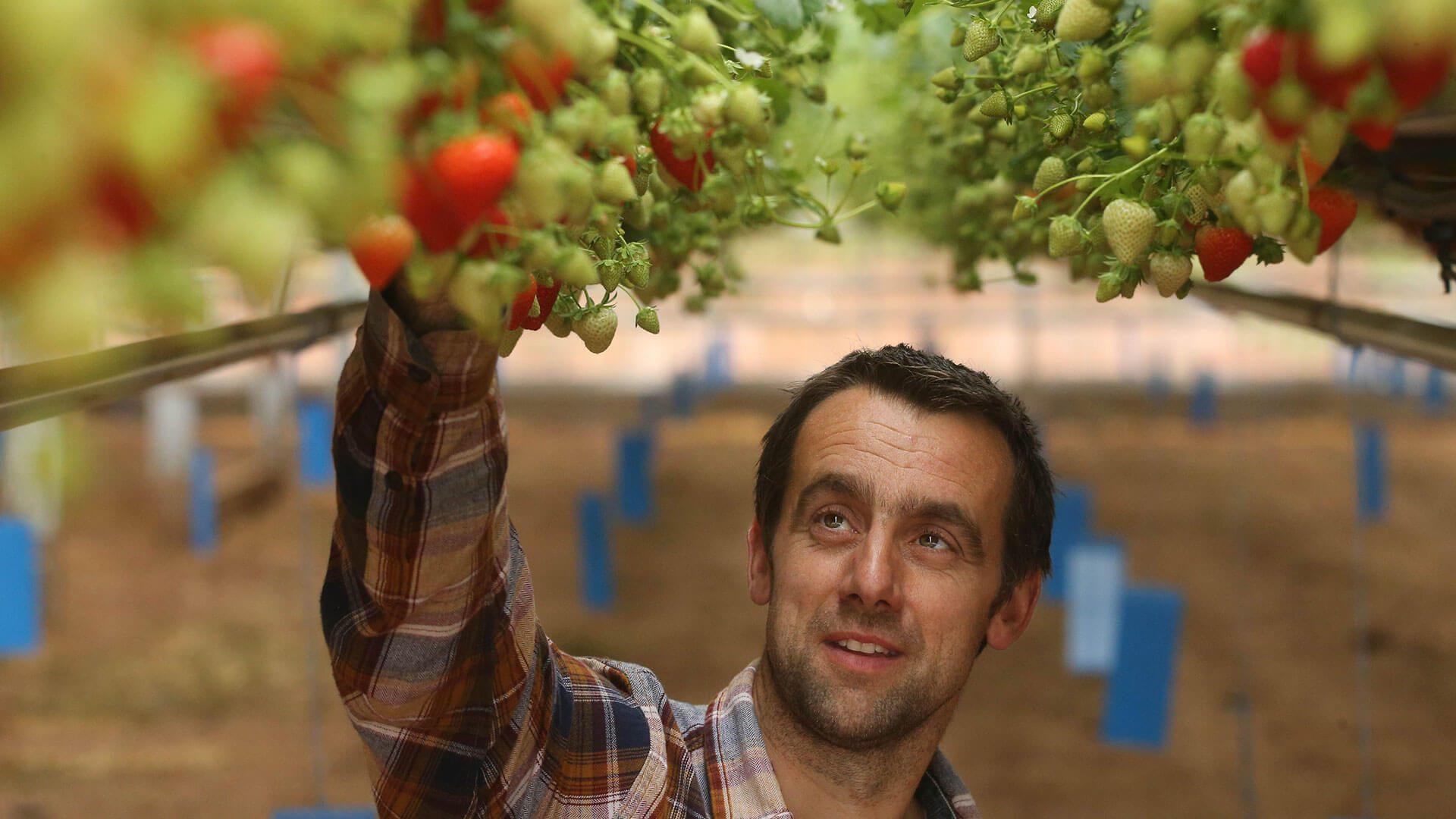 Man Picking Strawberries
